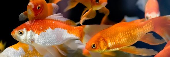 Understanding Freshwater Aquarium Fish Compatibility